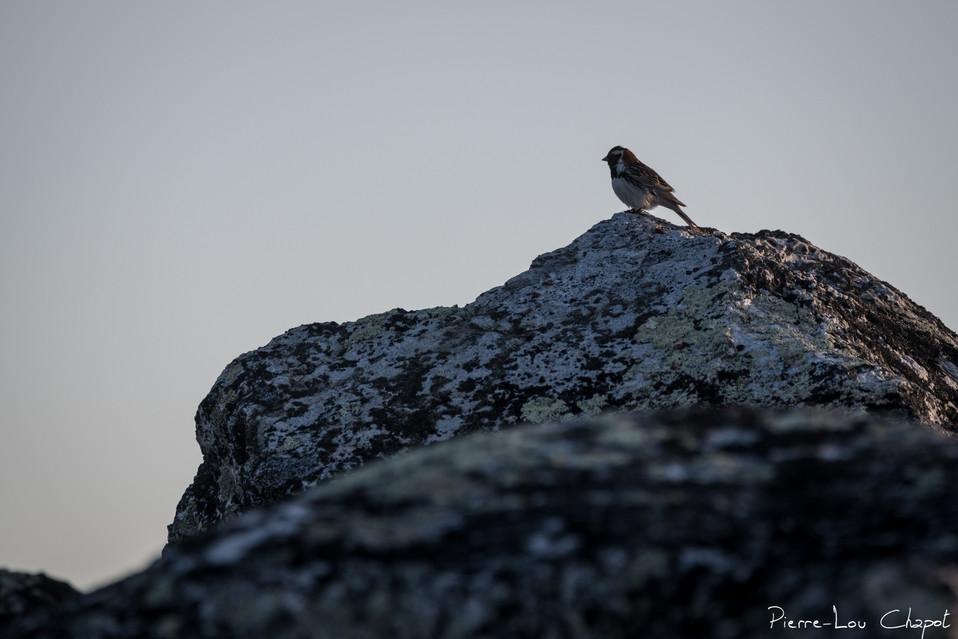 Bruant lapon – Calcarius lapponicus – Lapland Longspur