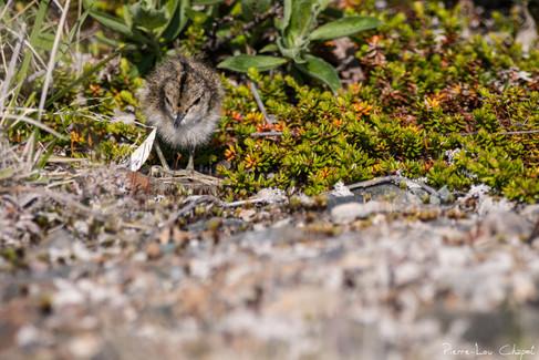 Chevalier guignette – Actitis hypoleucos – Common Sandpiper