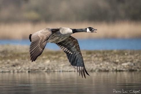 Bernache du Canada – Branta canadensis – Canada Goose