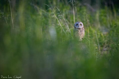 Hibou des marais – Asio flammeus – Short-eared Owl