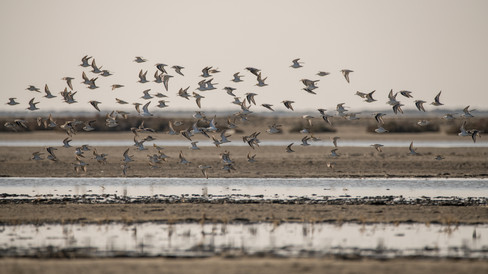 Bécasseau variable et bécasseau sanderling – Calidris alpina et Calidris alba – Dunlin and Sanderling