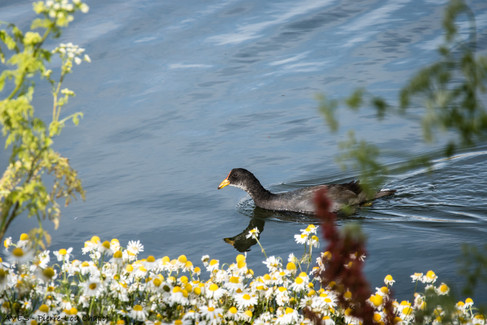 Red-fronted coot - Fulica rufifrons
