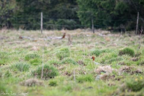 Canard siffleur – Anas penelope – Eurasian Wigeon