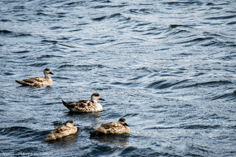 Crested duck - Lophonetta specularioides