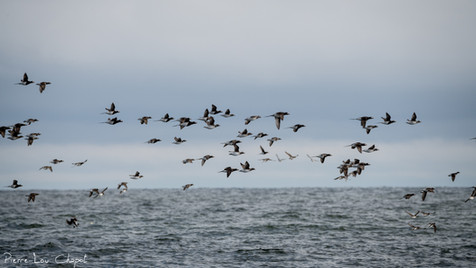 Harelde boréale – Clangula hyemalis – Long-tailed Duck