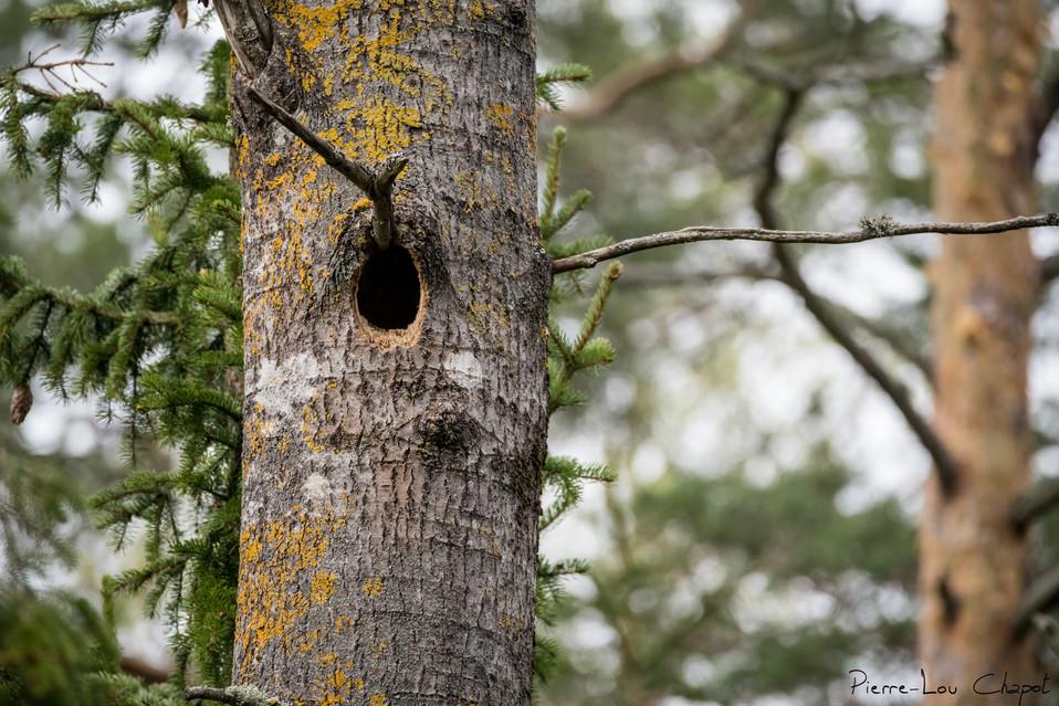 Nid de Pic noir – Dryocopus martius – Nest of Black Woodpecker