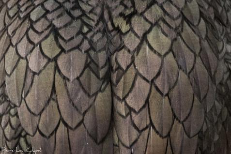 Cormoran huppé – Phalacrocorax aristotelis – European Shag