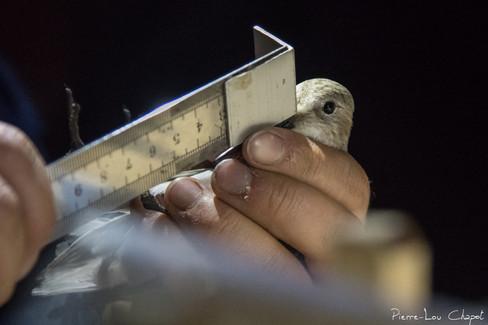 Beak measurement