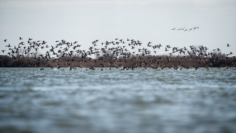 Canards – Anas sp. – Ducks