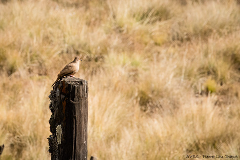 Bare-eyed ground-dove - Metriopelia morenoi