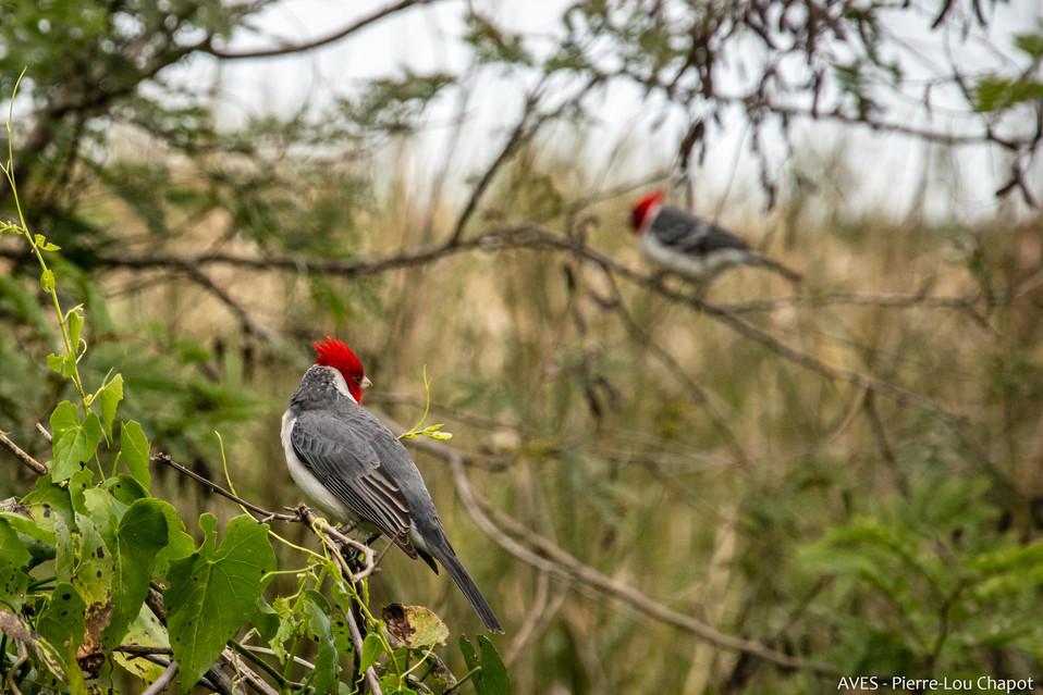 Paroare huppé - Paroaria coronata