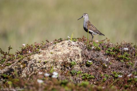 Bécasseau variable – Calidris alpina – Dunlin