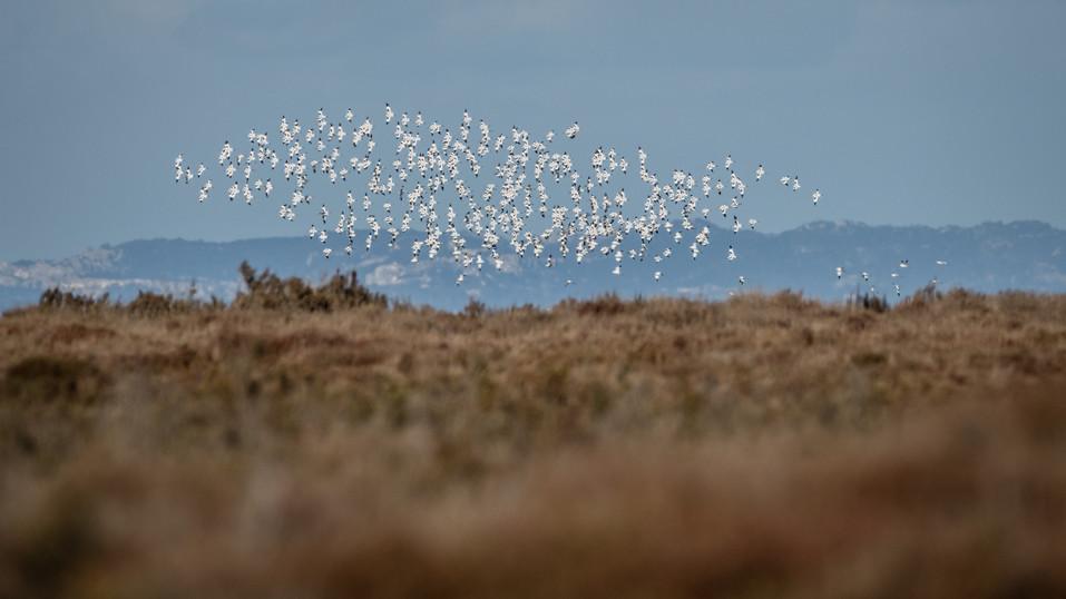 Avocette élégante – Recurvirostra avosetta – Pied Avocet