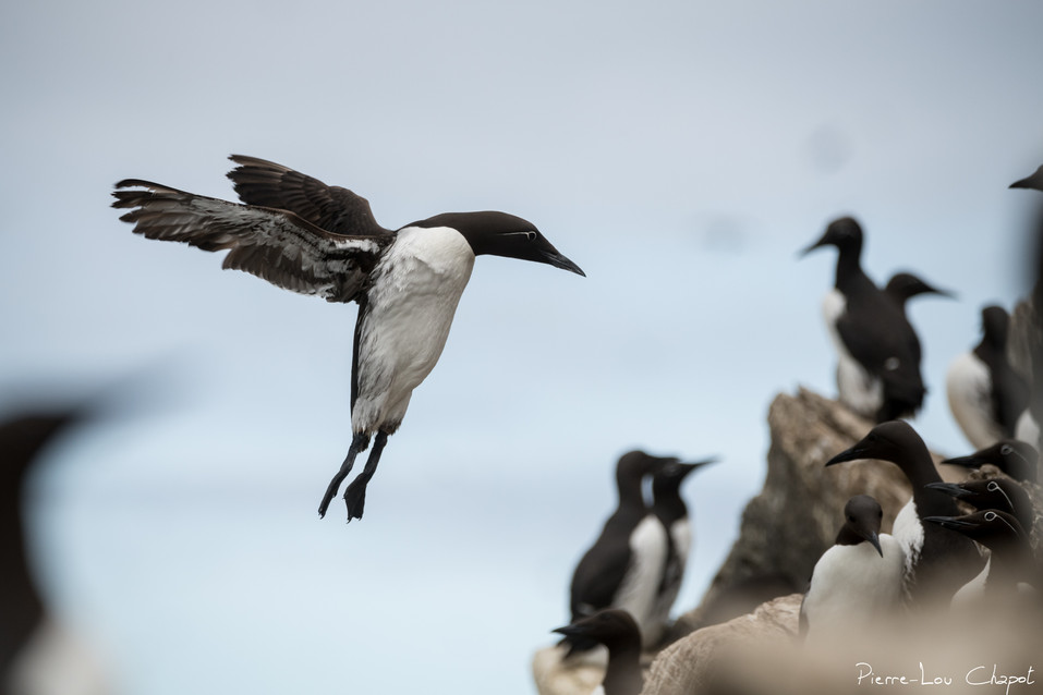 Guillemot de Troïl – Uria aalge – Common Murre