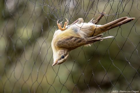 Bird in the nets