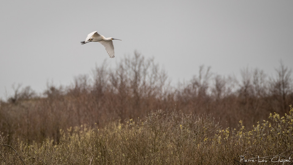 Spatule blanche – Platalea leucorodia – Eurasian Spoonbill