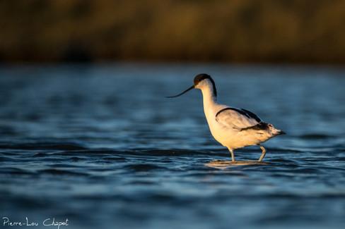 Recurvirostra avosetta - Pied Avocet
