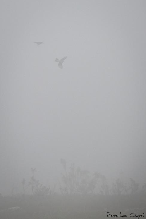 Pipit farlouse – Anthus pratensis – Meadow Pipit