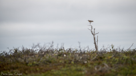 Courlis corlieu – Numenius phaeopus – Whimbrel
