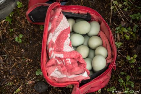 Il peut y avoir jusqu'à une vingtaine d'œuf dans un seul nid ! Certains nids sont « parasités » par d'autres femelles qui pondent un œuf dans des nids déjà occupés. Ce comportement leur permet d'avoir une descendance sans avoir à couver les œufs ni à s'occuper des canetons par la suite.
