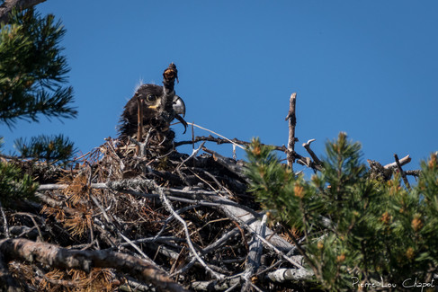 A notre arrivée, le jeune aigle, bien installé dans son nid haut-perché, est aux aguets.