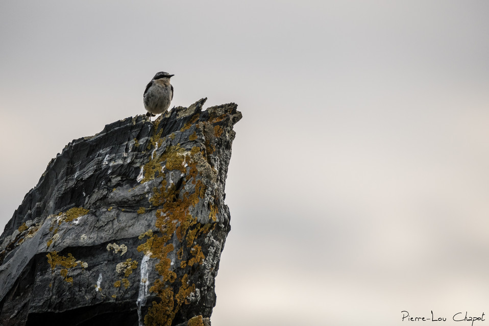 Traquet motteux – Oenanthe oenanthe – Northern Wheatear