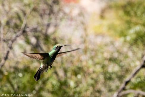 Colibri d'Anaïs - Colibri coruscans