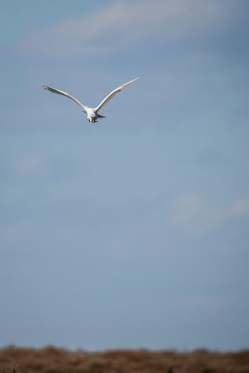 Aigrette garzette – Egretta garzetta – Little Egret