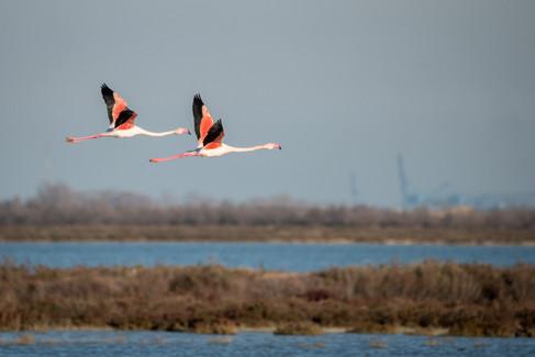 Flamant rose – Phoenicopterus roseus – Greater Flamingo