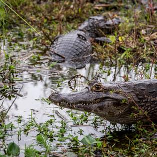Wildlife of Ibera wetlands