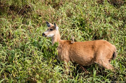 Marsh deer - Blastocerus dichotomus