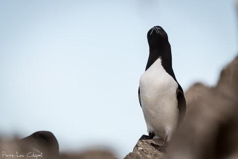Pingouin torda – Alca torda – Razorbill