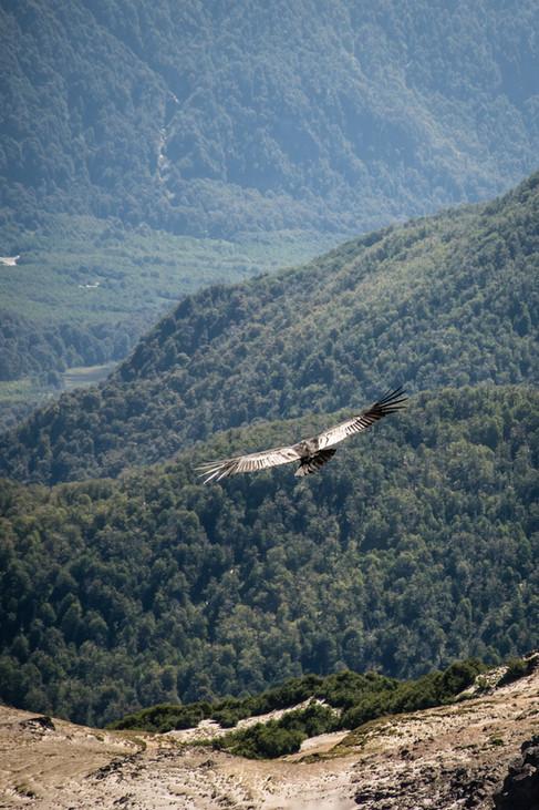 Condor des Andes - Vultur gryphus