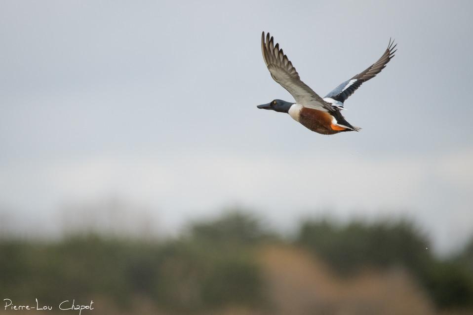 Canard souchet - Anas clypeata