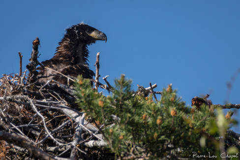 Our intrigued eagle seeks the origin of these curious noises along its tree.