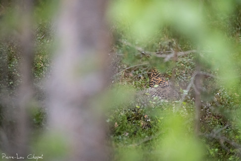 Grand Tétras – Tetrao urogallus – Western Capercaillie