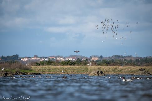 Circus aeruginosus - Western Marsh Harrier, ducks and waders