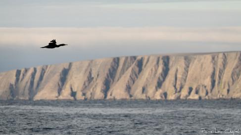 Grand Cormoran – Phalacrocorax carbo – Great Cormorant