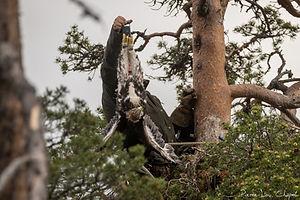 Spectaculaires aigles de Laponie