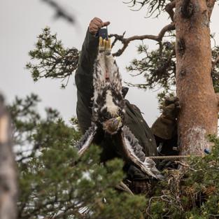 Spectacular eagles of Finnish Lapland