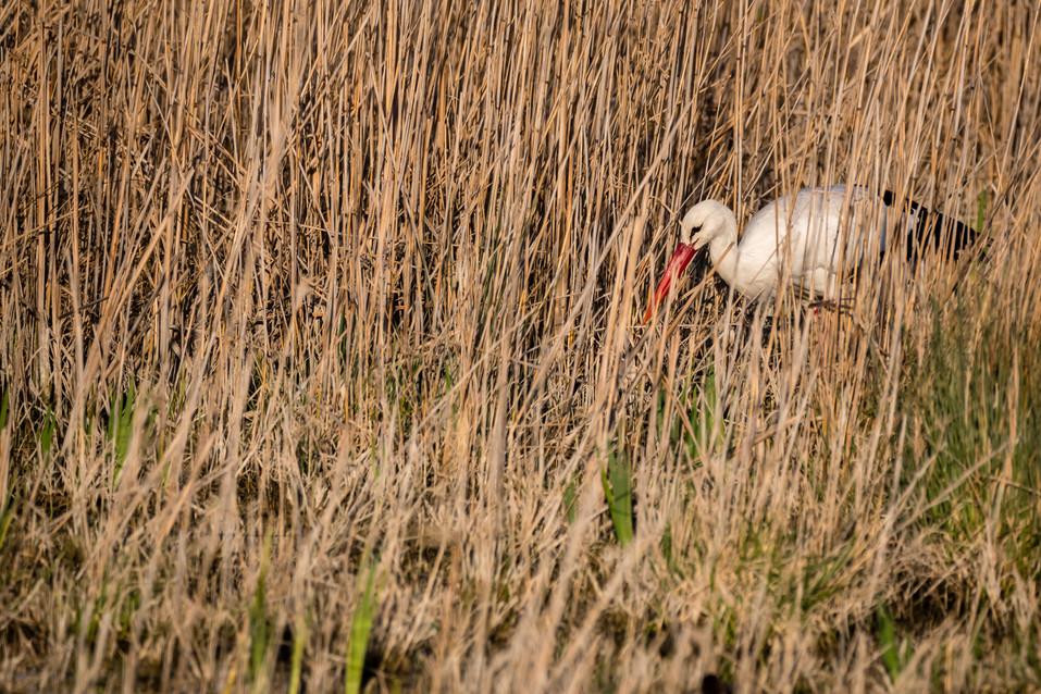 Cigogne blanche – Ciconia ciconia – White Stork