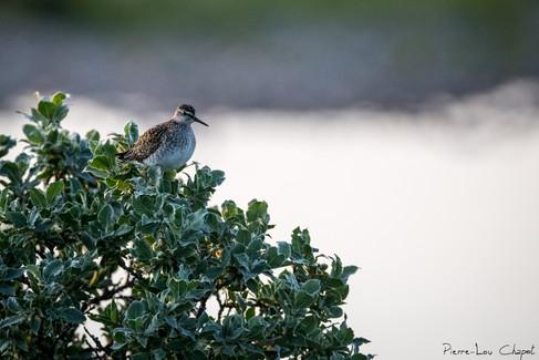 Chevalier sylvain – Tringa glareola – Wood Sandpiper
