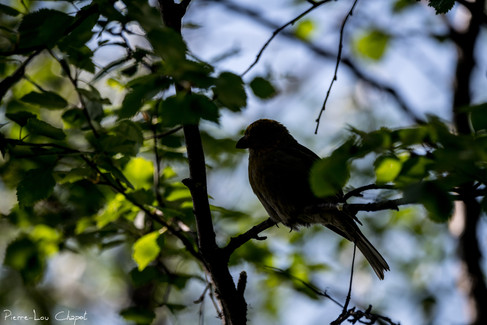 Durbec des sapins – Pinicola enucleator – Pine Grosbeak