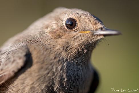 Rougequeue noir – Phoenicurus ochruros – Black Redstart