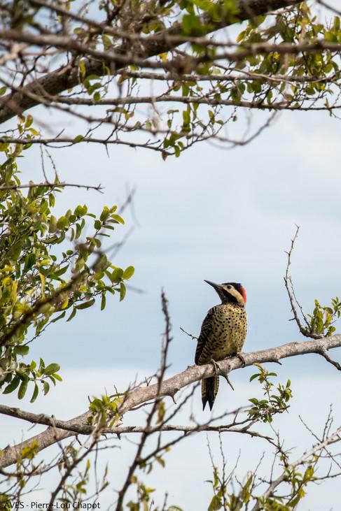 Green-barred woodpecker - Colaptes melanochloros