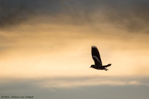 Vanneau des Andes - Vanellus resplendens