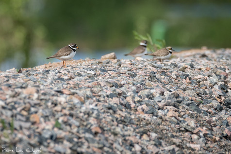 Petit Gravelot et Grand Gravelot – Charadrius dubius et Charadrius hiaticula – Little Ringed Plover and Common Ringed Plover
