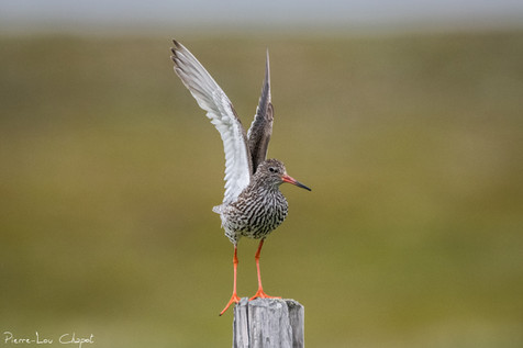 Chevalier gambette – Tringa totanus – Common Redshank