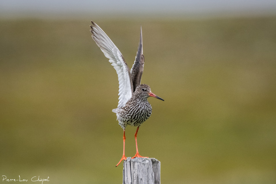 Chevalier gambette – Tringa totanus – Common Redshank
