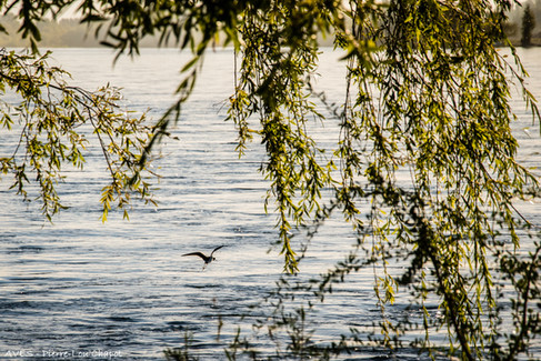 A wading bird is taking flight from the bank, under branches lit by an early evening light.
